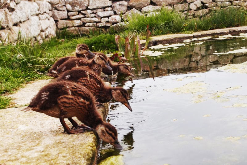 Ile de Batz, La Mare aux Canards